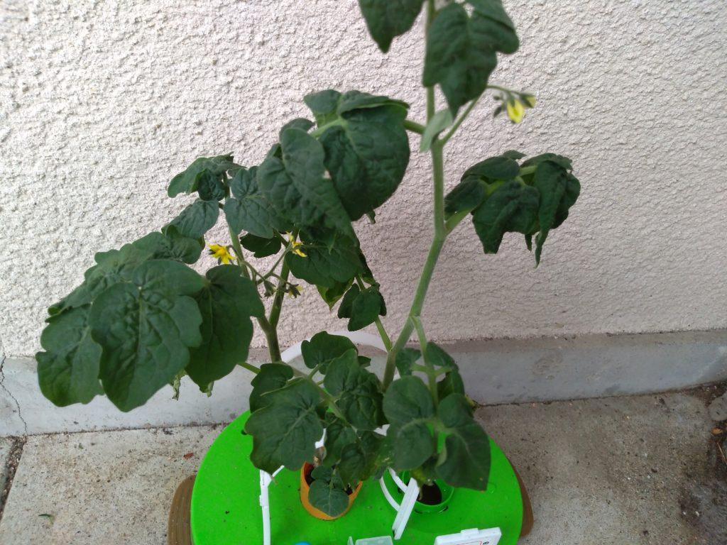ミニトマト花が咲いた