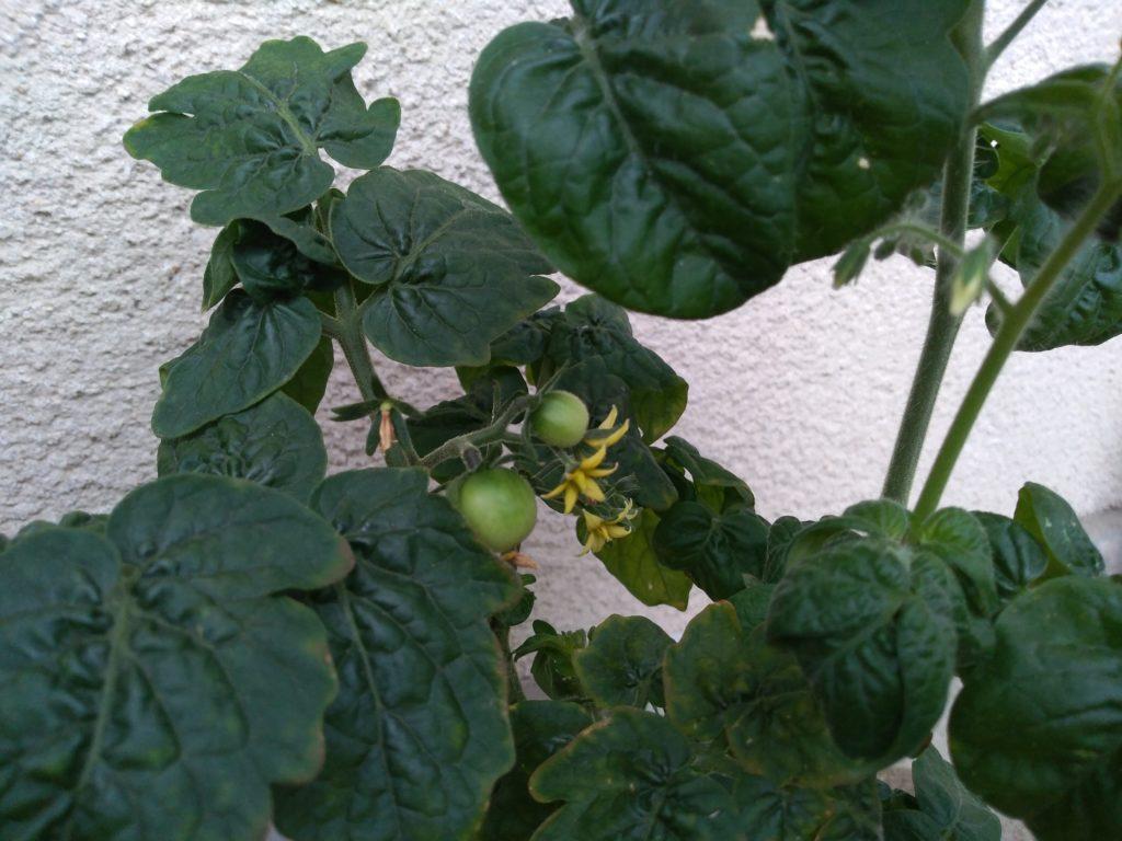 ミニトマト実がなった