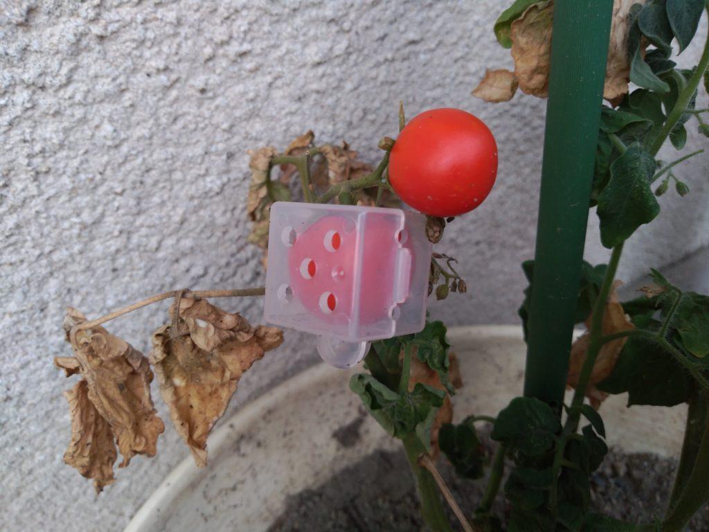 ミニトマト赤くなった